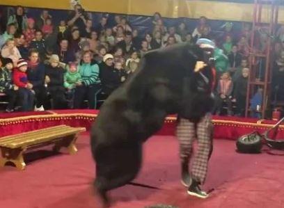 Assustador! vídeo mostra urso atacando treinador durante apresentação de circo; VEJA VÍDEO